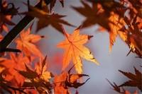 枫叶的寓意是什么,代表坚毅精神和鸿