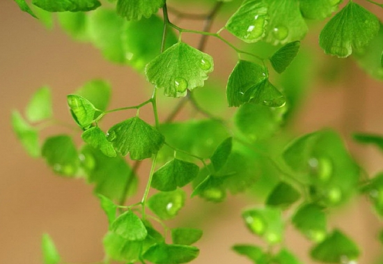 铁线蕨水培:一步步教你完成水培