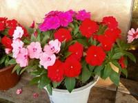新几内亚凤仙花的养殖方法和注意事项:喜温暖和光照