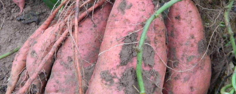 西瓜红红薯生长特性