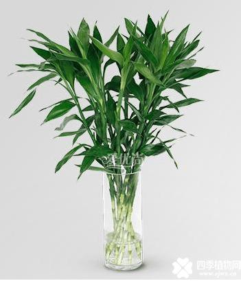富贵竹有毒吗?富贵竹给你家里带来的