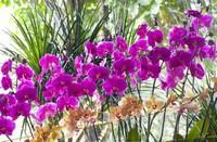 蝴蝶兰几年能开花,蝴蝶兰开花后怎么
