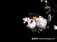 19张紫薇花图片