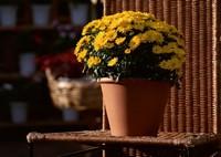 菊花春天怎么养,四个步骤帮你养出美丽的菊花
