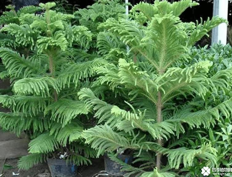 南洋杉的养殖方法和注意事项介绍!南洋杉怎么养能长得更好?