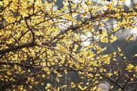 梅花的花语和意义,象征高洁的原因是