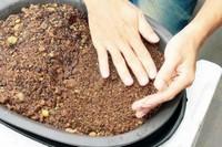 四季红山茶盆栽怎么养