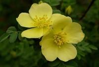 黄刺玫的功效与作用,花色鲜艳观赏性强/药用可理气活血