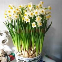 盆栽水仙花图片