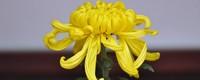 祭祀菊花花束的包法