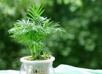 袖珍椰子摆放风水,招财旺福/有助事业运和健康运