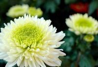 菊花可以放在卧室吗,不可以/菊花属阴性植物