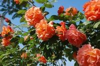 藤本月季和蔷薇的区别,两者叶片花形不同