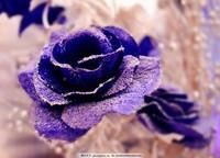 蓝玫瑰花图片大全