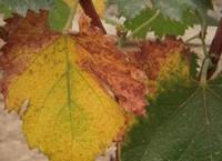 盆栽葡萄树叶子黄了怎么办,5个方法