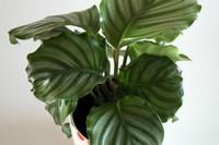 哪种竹芋好养,七彩竹芋适应能力强