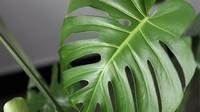 龟背竹有哪些品种