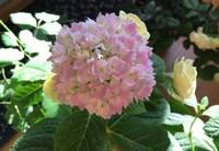 大花绣球的养殖方法(总结篇)