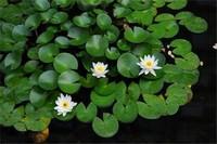睡莲养多久可以开花,养护得当来年即可开花