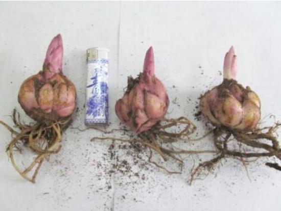 百合花种球种植方法:进口种球在秋季