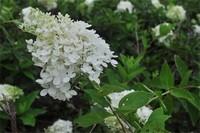 什么花喜阴,虎耳花和秋海棠阴凉处生长更好