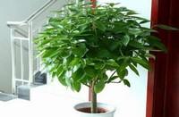 平安树放在什么地方风水最好,家中办