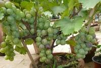 葡萄盆栽种植方法图片,5个步骤教你