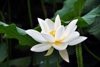 白银莲花图片