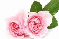 粉色玫瑰代表什么意思,感动/铭记于