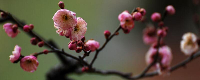 梅花树结果吗