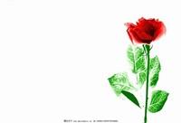 玫瑰花图片大全背景图片