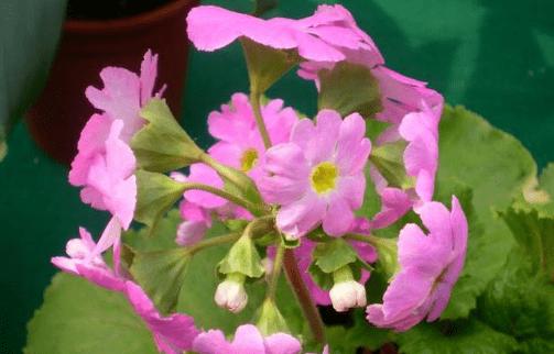 四季樱草怎么繁殖?四季樱草爆盆的方法都在这里了!