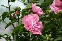 木槿象征什么意思,象征着温柔的坚持与坚韧