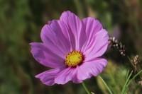 波斯菊几个月开花,播种之后需2~3个月开花