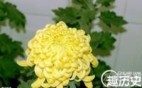 长寿菊花图片