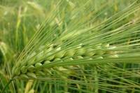 青稞是什么,与小麦燕麦怎么区分
