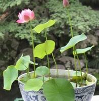 四季碗莲种植方法,手把手教你种植碗