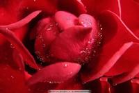 露水玫瑰花图片大全
