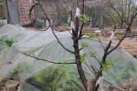 柿子树嫁接绝招,如何嫁接成活率高?