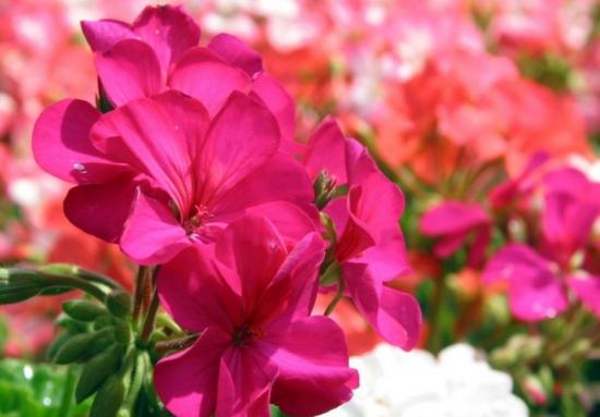 天竺葵花开不断的办法:阳光、施肥、浇水、修剪,一样不能少