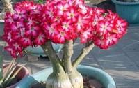 沙漠玫瑰怎么养,沙漠玫瑰的养殖方法和注意事项(5招让其花朵艳丽)
