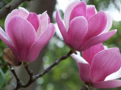 木兰一般多久可以开花?木兰不开花怎
