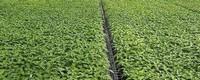 冬季大棚辣椒种植技术
