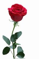 一支玫瑰花壁纸高清