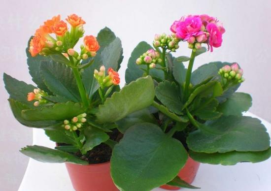 长寿花放在卧室好吗:无毒,可放卧室养
