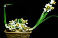 水仙为什么要雕刻,促进花芽形成提高观赏能力