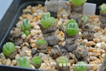 【图】多肉植物碧光环种子种植繁殖