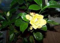 栀子花花朵变黄怎么办,3种方法让栀