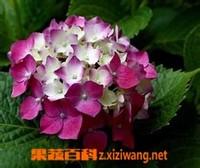 果蔬百科八仙花图片 八仙花的养殖方法