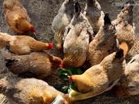 蒲公英喂鸡有什么好处 蒲公英能长期喂鸡吗